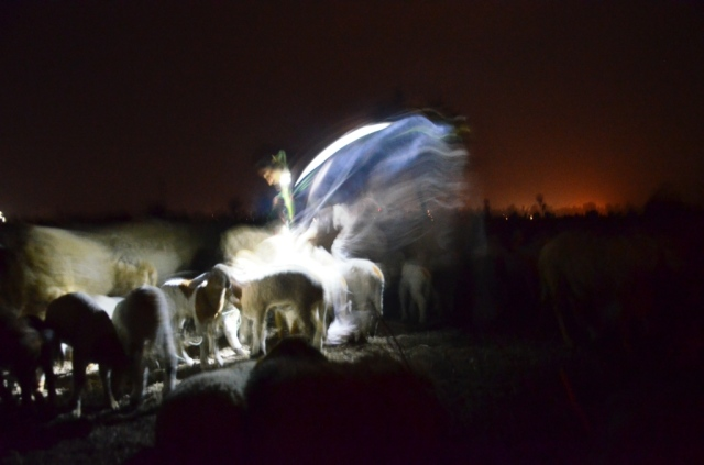 Matching returning ewes mothers and kids in the shine of torches