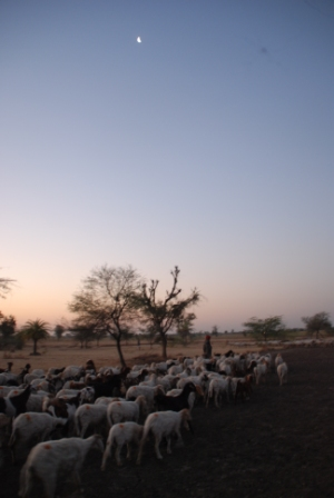 At the crack of dawn, the sheep flocks go on their first round of grazing.